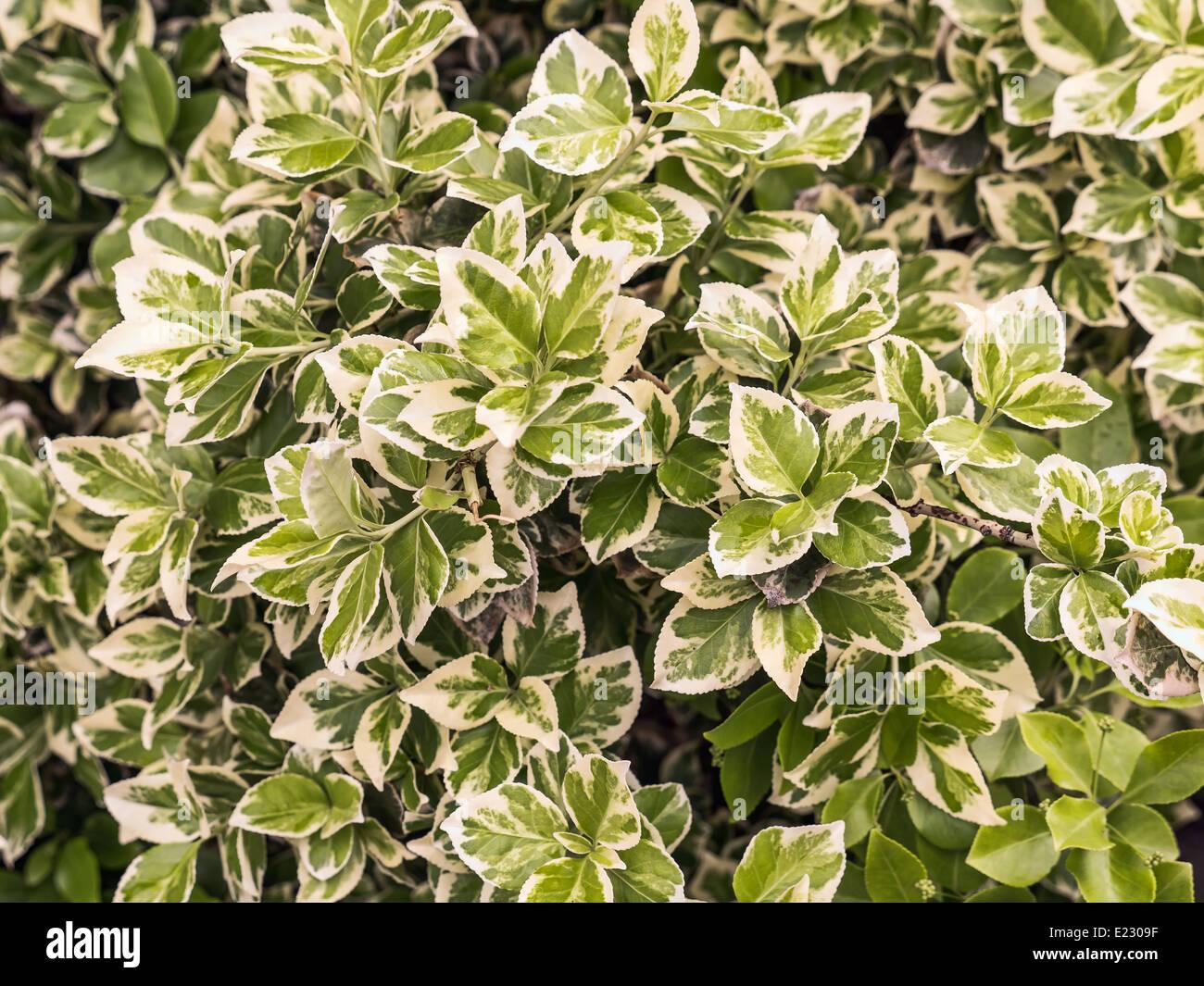 Closeup of winter creeper bush - Stock Image