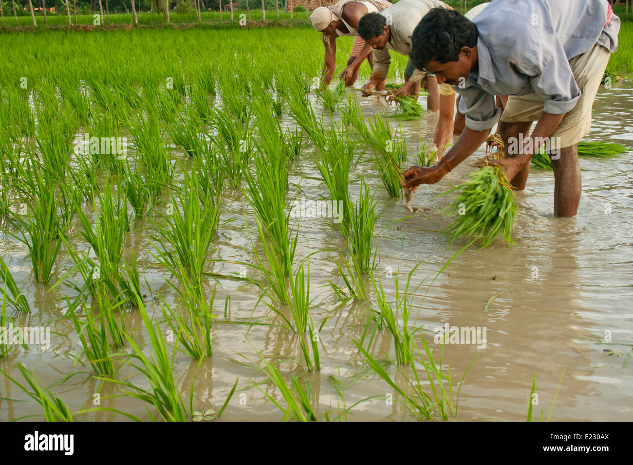 People planting rice in a paddy field in West bengle ...  People planting...