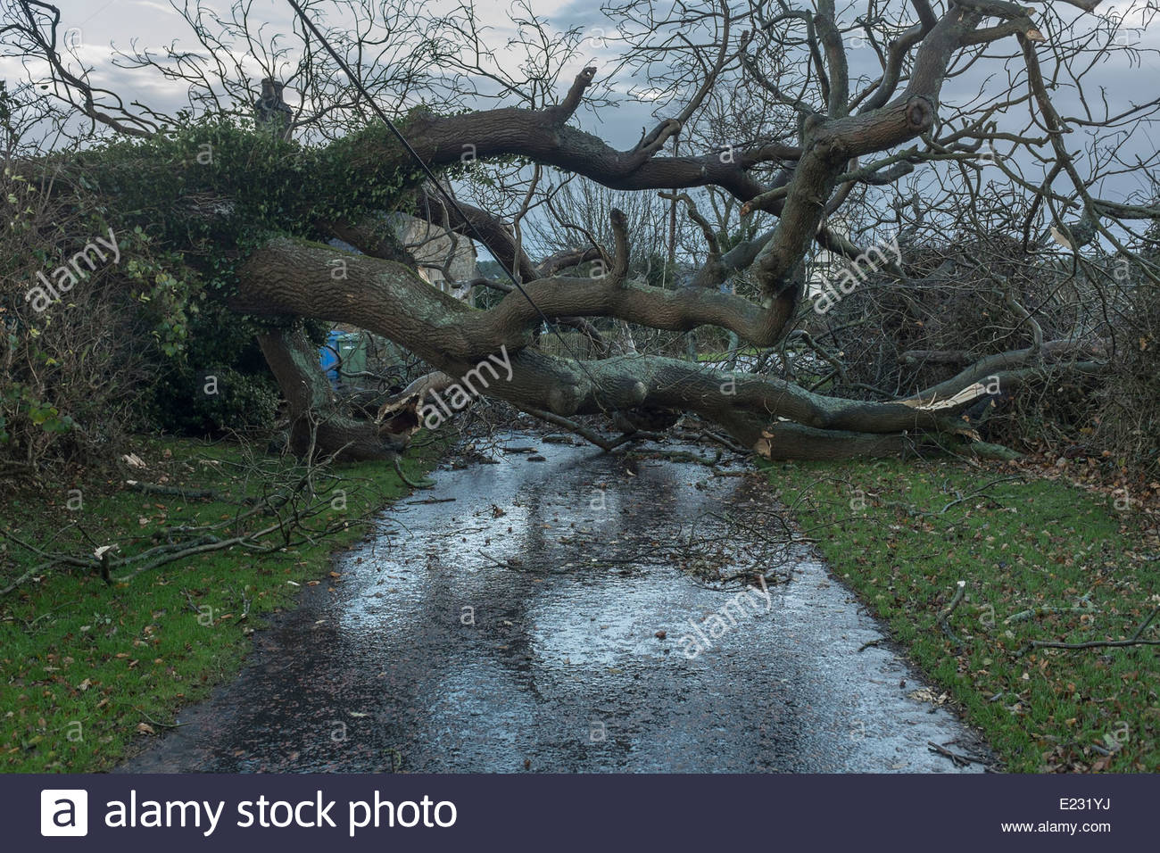 A tree felled by strong gales - Stock Image