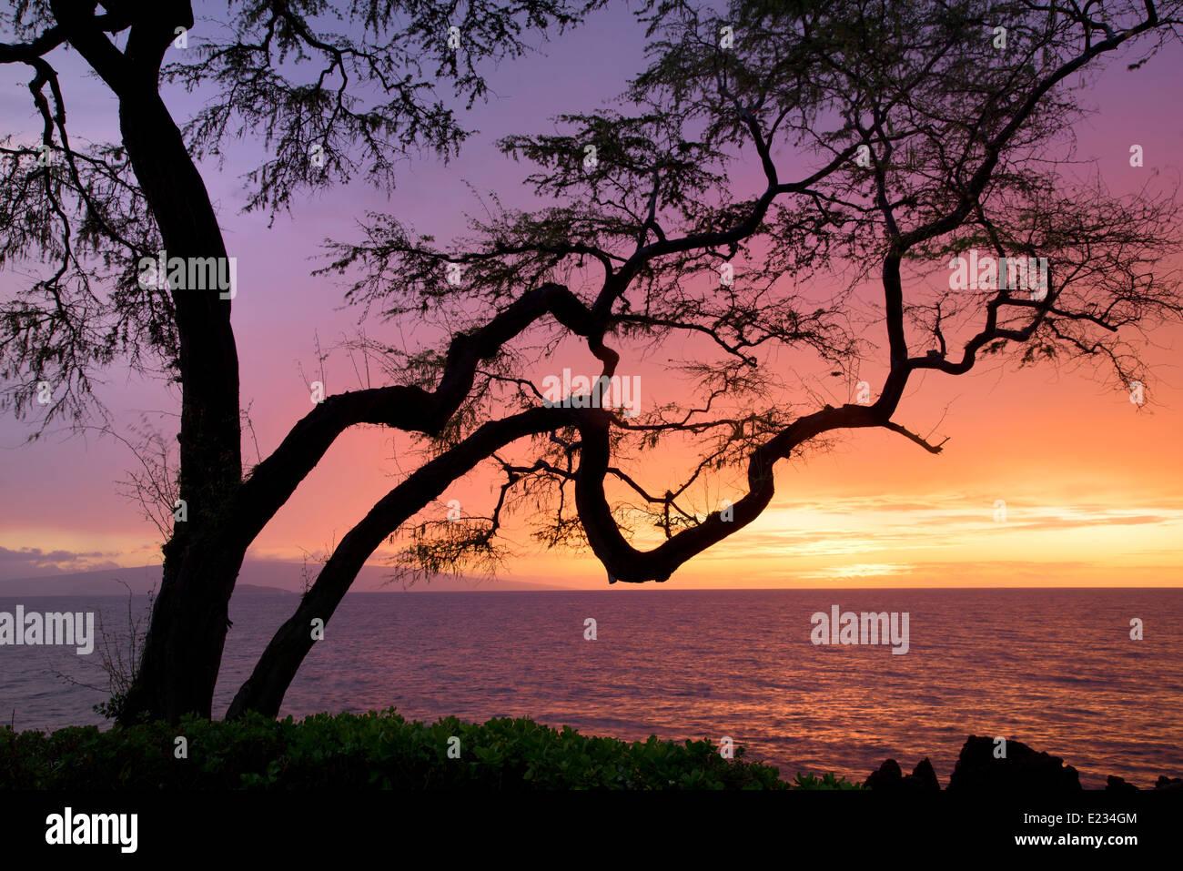 Branching tree and sunset. Maui, Hawaii. - Stock Image