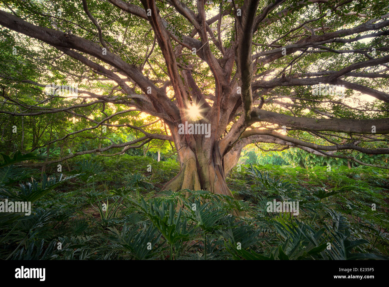Twisted tree branches with sun burst - Stock Image