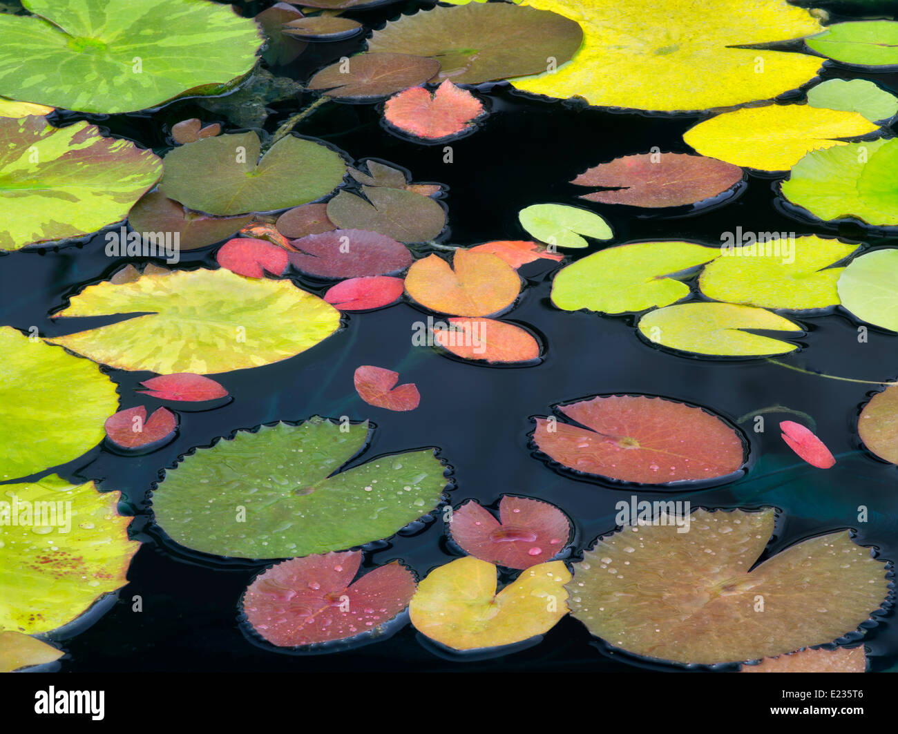 Pattern of water lily leaves. Oregon - Stock Image