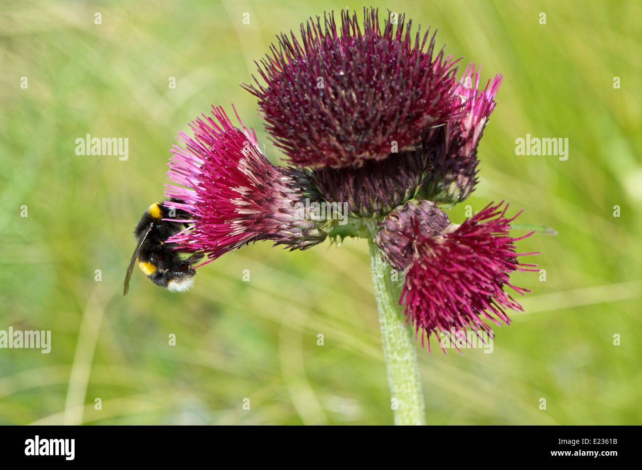 Cirsium rivulare atropurpurea or Plume Thistle with a bee gathering nectar - Stock Image