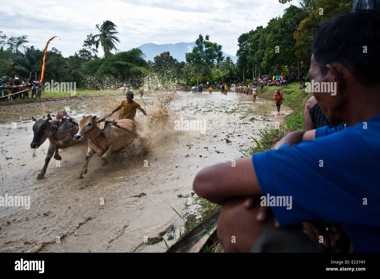 West Sumatra, Indonesia. 14th June, 2014. People watch a jockey spurring cattle during the Pacu Jawi in the field - Stock Image