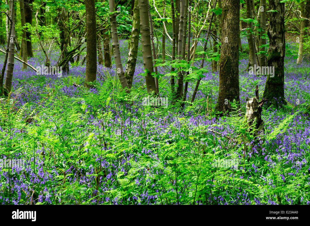 Bluebells ( Endymion non-scriptus ) in Flower at Eggerslack Wood, Nr Grange-Over-Sands, Cumbria, England, UK - Stock Image