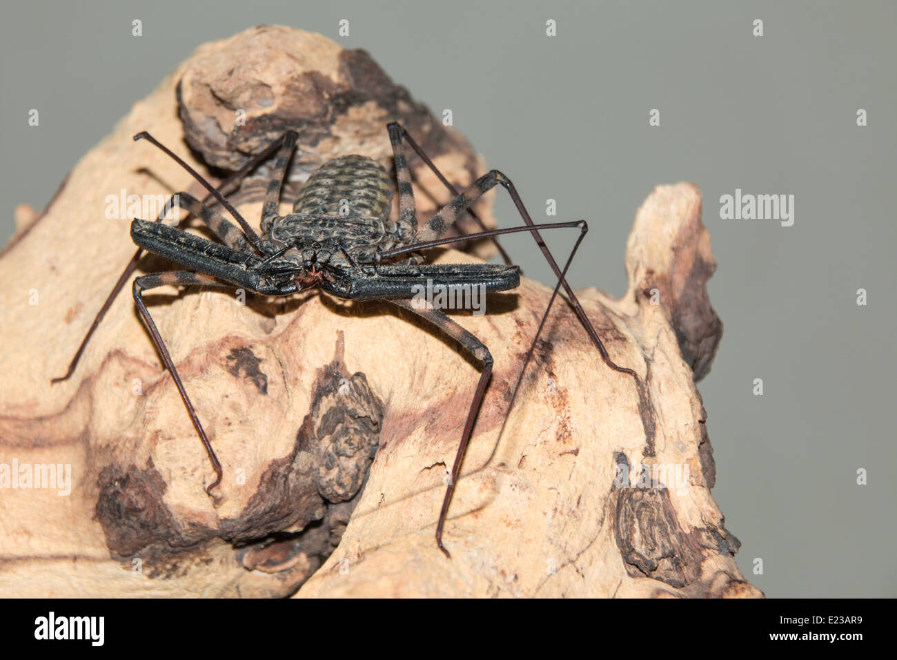 Tail-less whip Scorpion on Mopano wood(5 of 7 ) - Stock Image