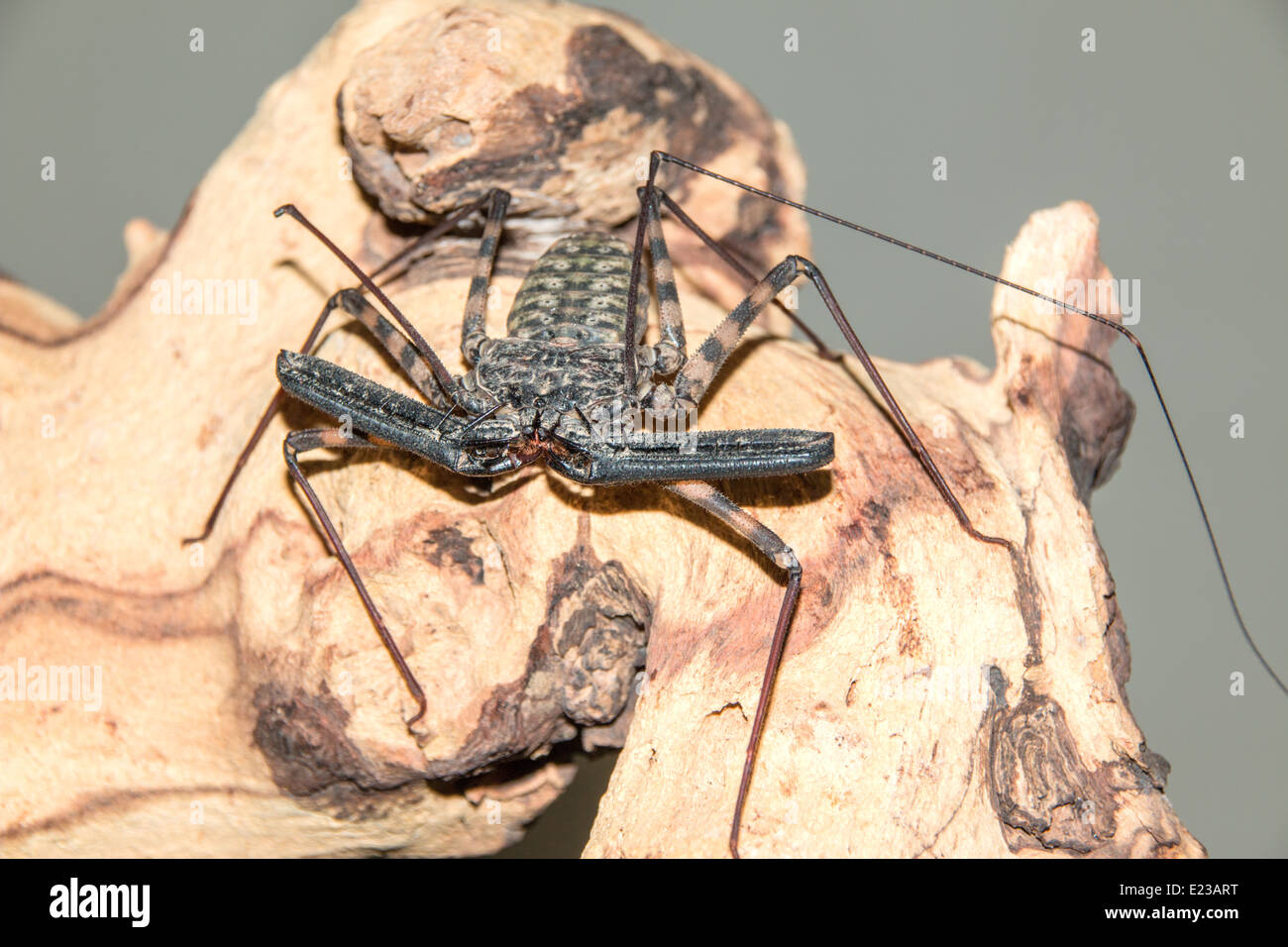 Tail-less whip Scorpion on Mopano wood( 4of 7 ) - Stock Image