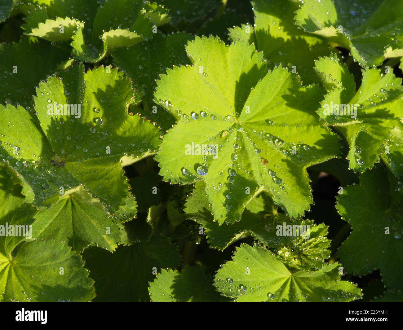 Alchemilla, Lady's Mantle, close up of leaves with dewdrops - Stock Image