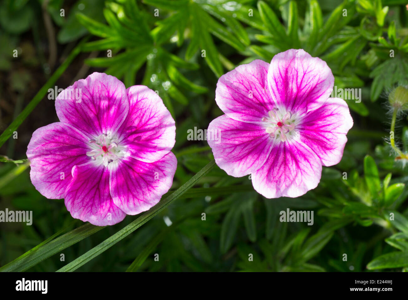 Pink And White Flowers Of The Small Hardy Geranium Geranium Stock
