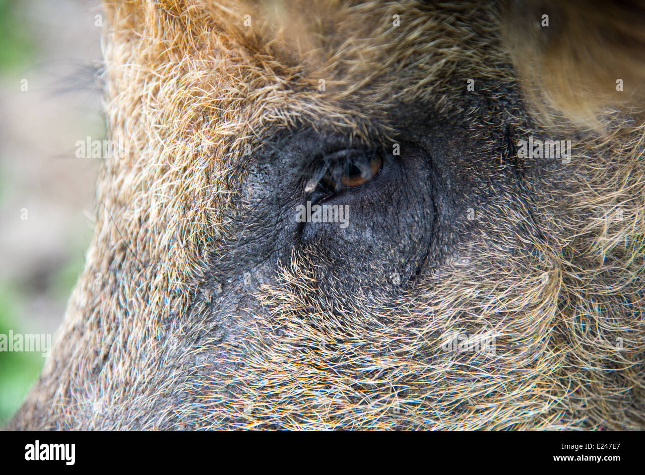 boars in wildpark in the netherlands - Stock Image