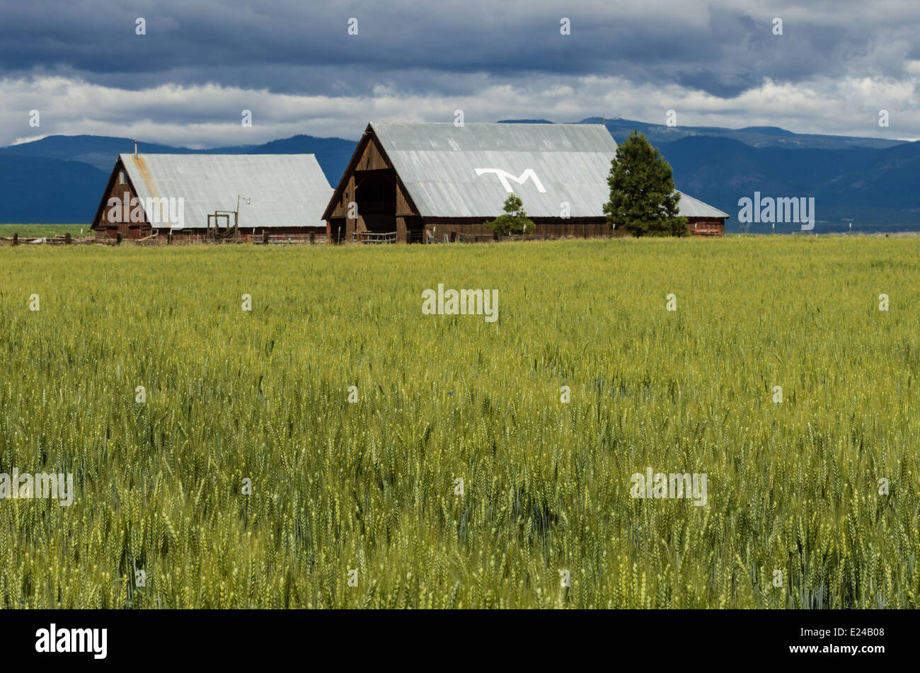 Wheat farm with wheat nearly ready to harvest.  maupin, Oregon - Stock Image