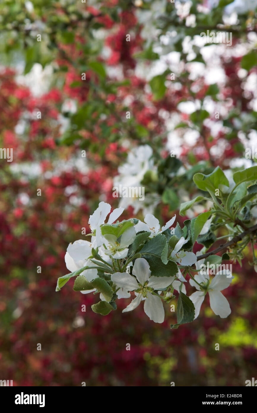 White flowered tree blooming - Stock Image