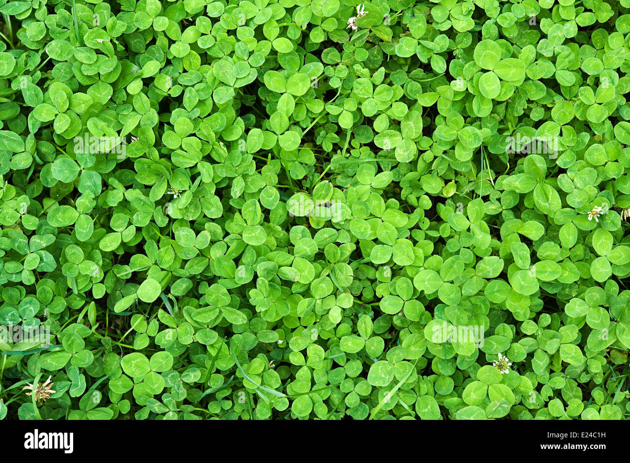 Background of fresh green clover leaves - Stock Image