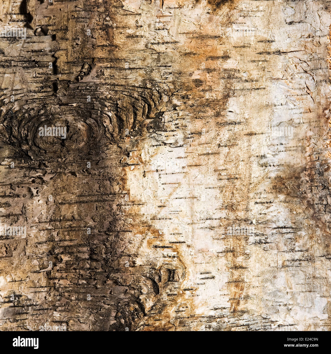 Background of birch bark with a knot - Stock Image