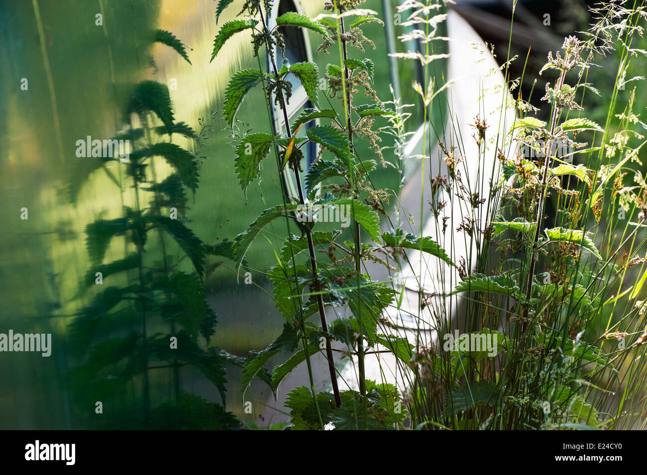 Urtica dioica. Stinging nettles growing next to a narrowboat with reflections on the towpath. England - Stock Image