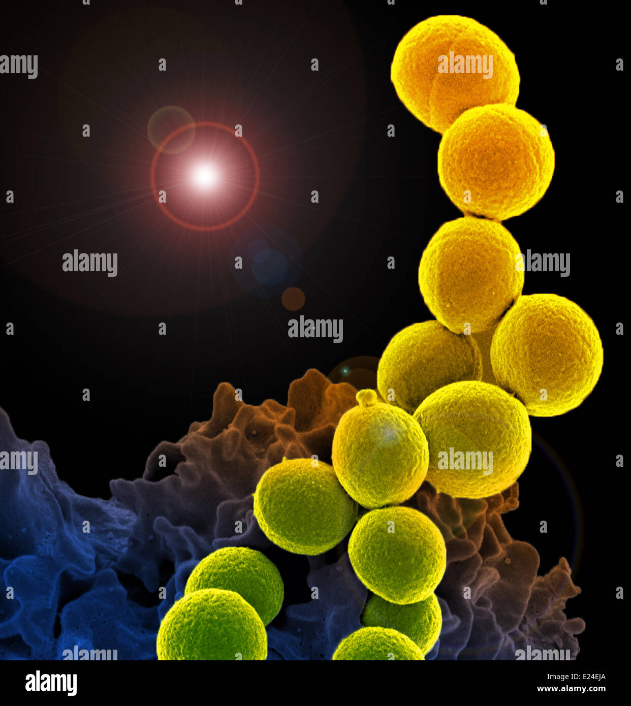 Interaction of a white blood cell with mrsa. - Stock Image
