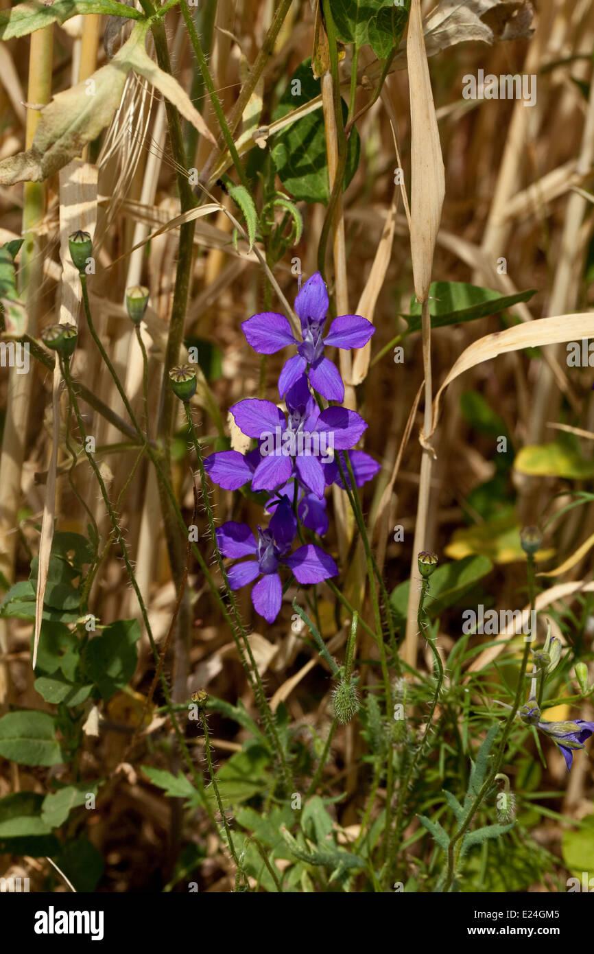 Delphinium fissum - Stock Image