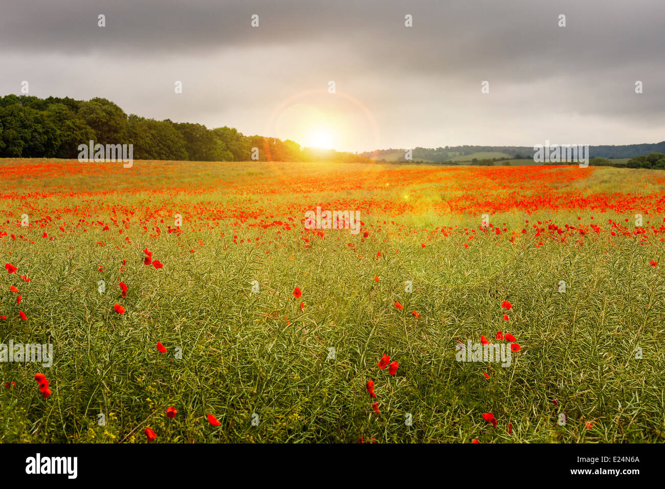 Sunset on a poppy field, Tring, Buckinghamshire - Stock Image