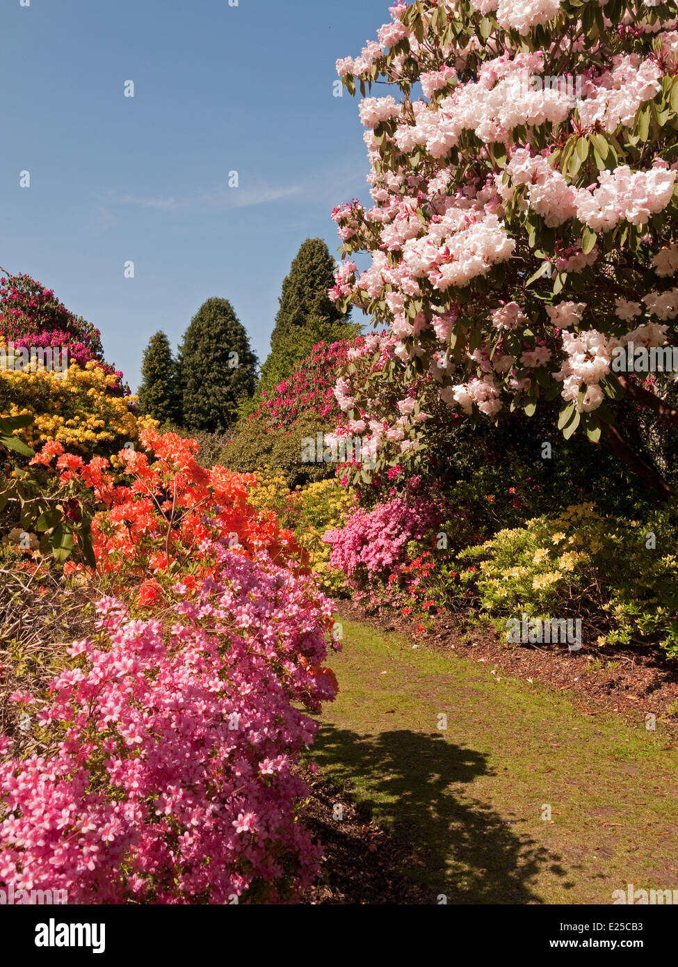 Rhododendron Landscaped Gardens Stock Photos & Rhododendron ...