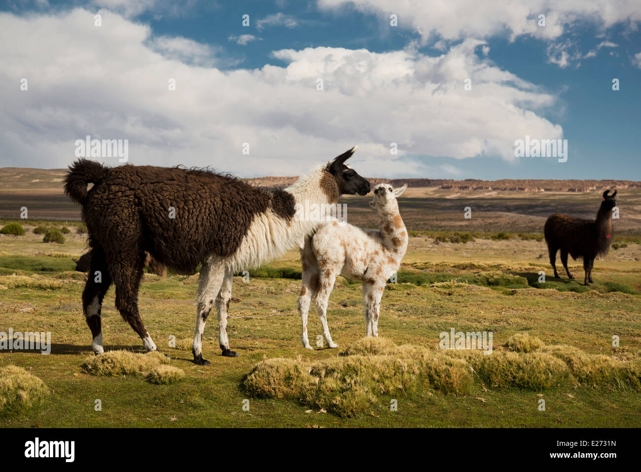Mother and calf Llamas on the Southern Bolivian altiplano. - Stock Image