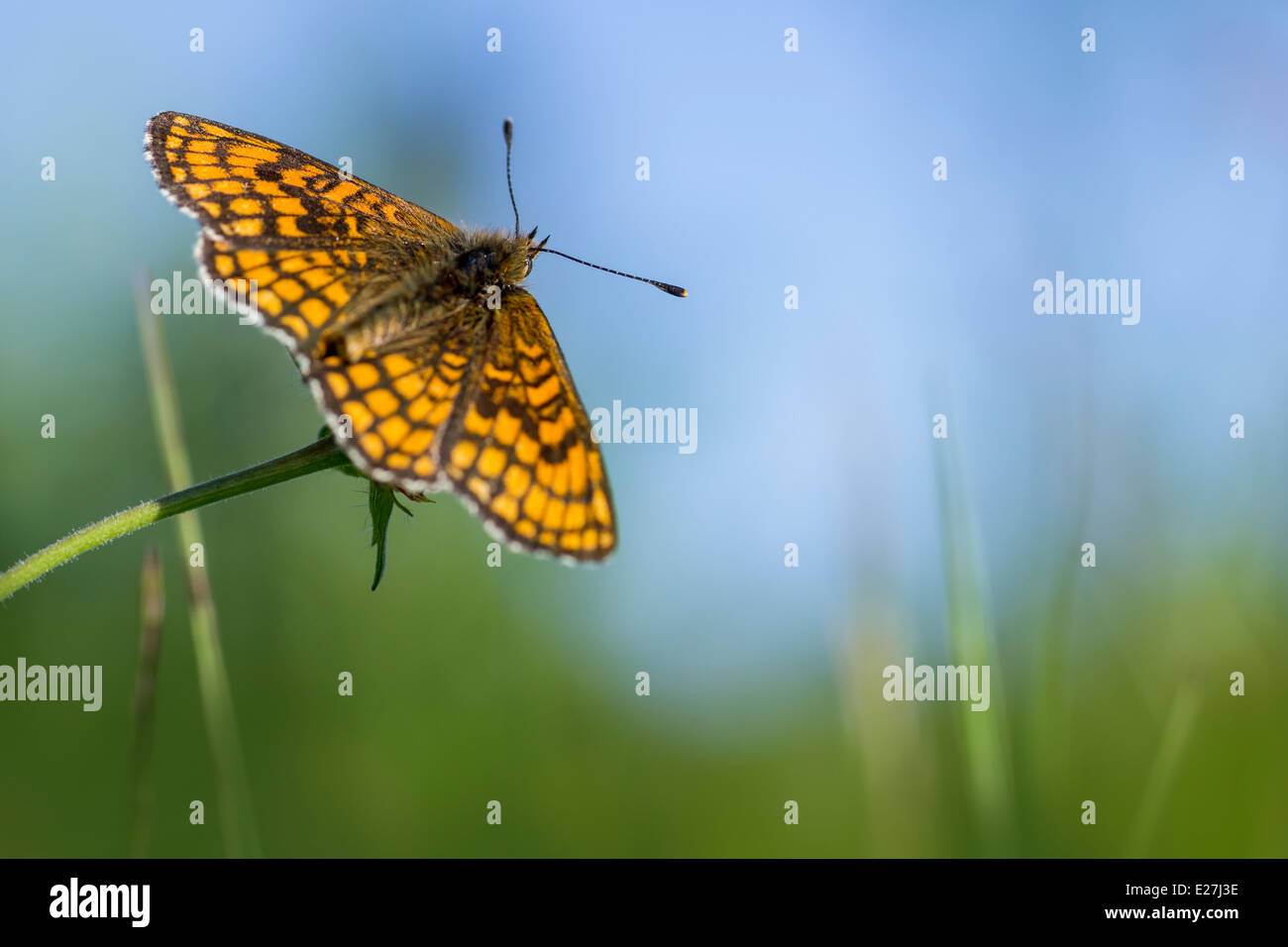 The High Brown Fritillary, Argynnis adippe - Stock Image