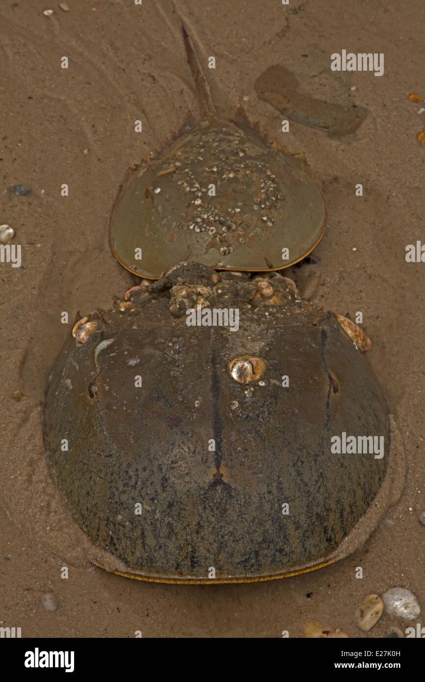 Atlantic horseshoe crab, Limulus polyphemus, marine chelicerate arthropod, breeding, Delaware bay, Delaware - Stock Image