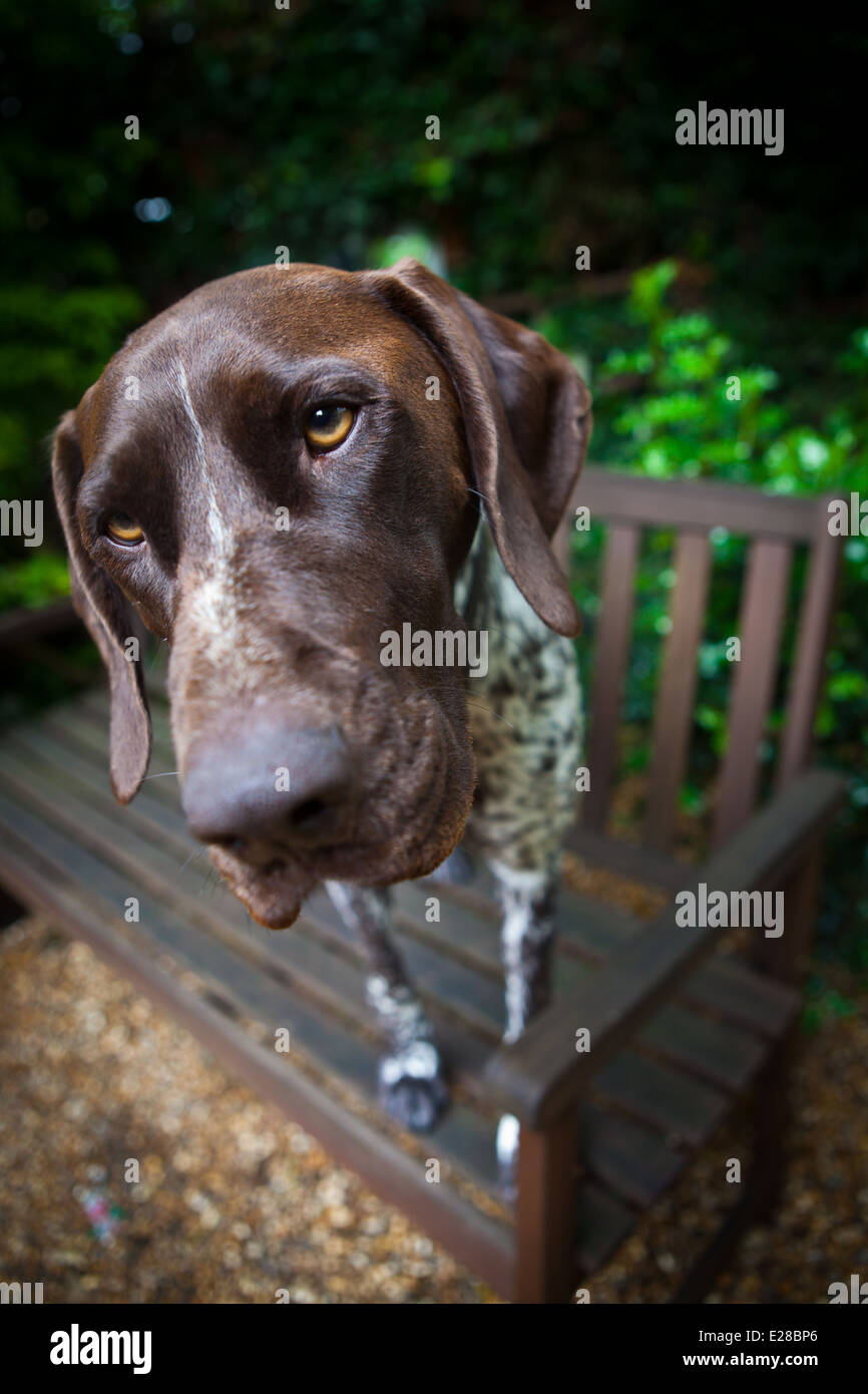 German Shorthaired Pointer dog - Stock Image