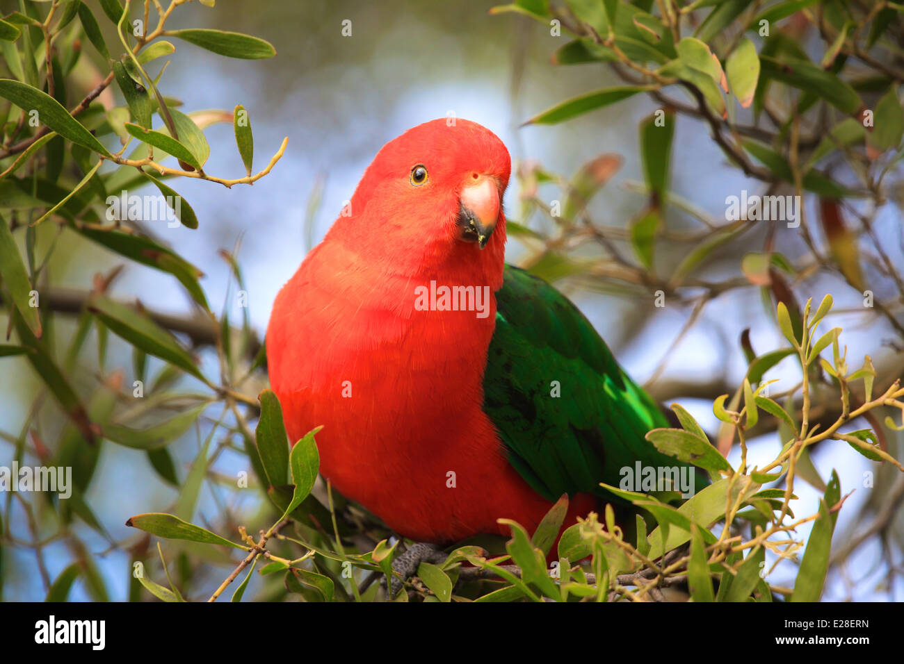 A wild King Australian Parrot sits in a tree. - Stock Image