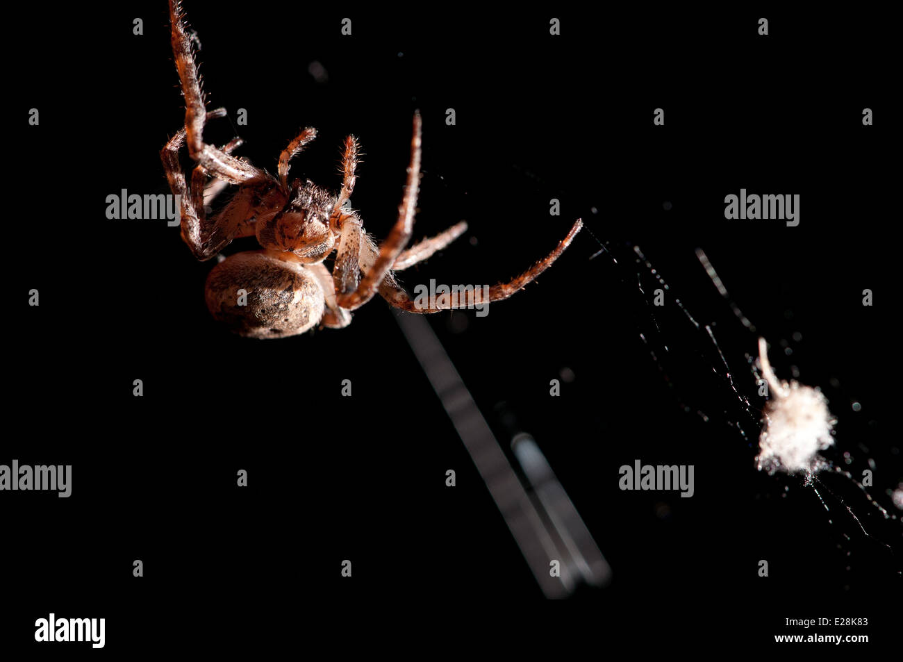 Spider on the web at pitch black night - Stock Image