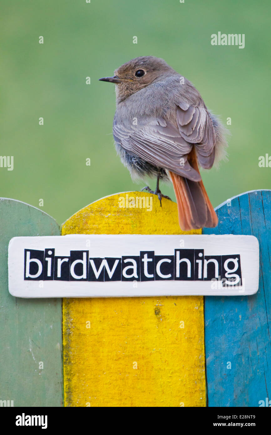 Bird perched on a fence decorated with the word ornithology - Stock Image