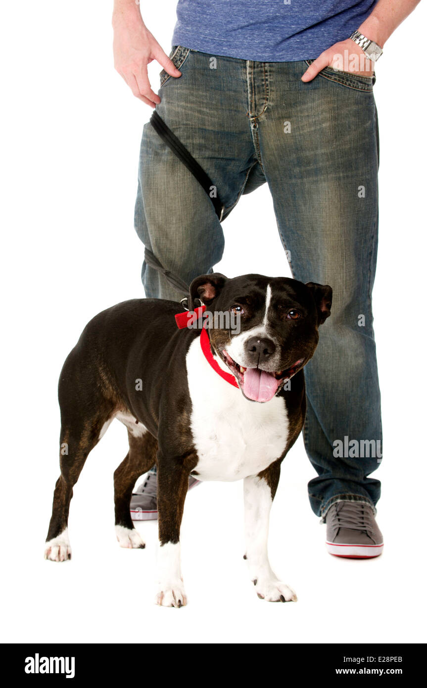 Staffordshire Bull Terrier on lead wrapped around owner's legs - Stock Image