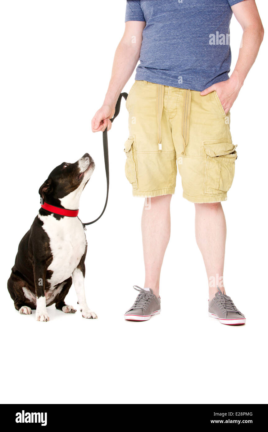 Staffordshire Bull Terrier on lead sat next to owner looking up at them - Stock Image