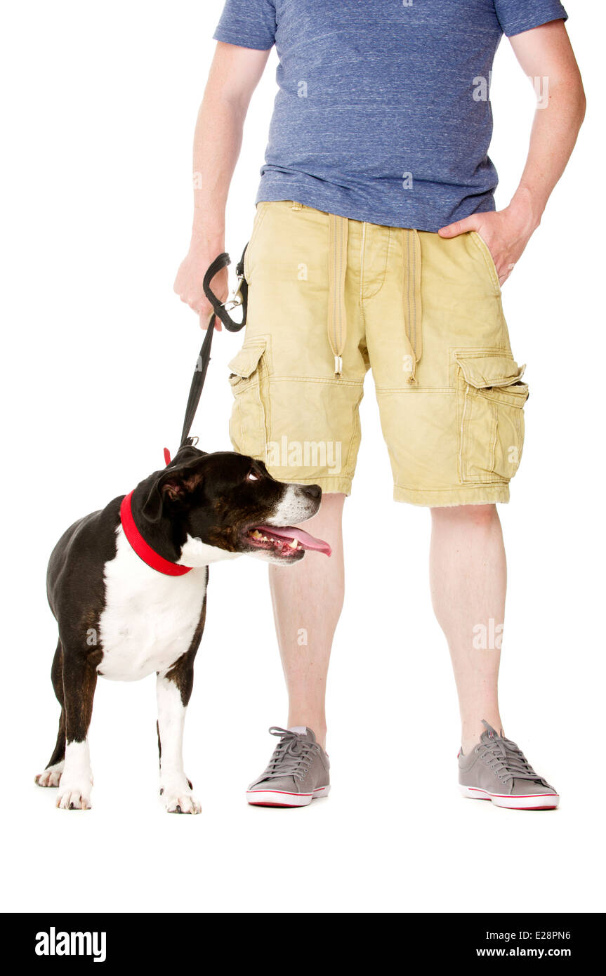 Staffordshire Bull Terrier on lead stood next to owner - Stock Image
