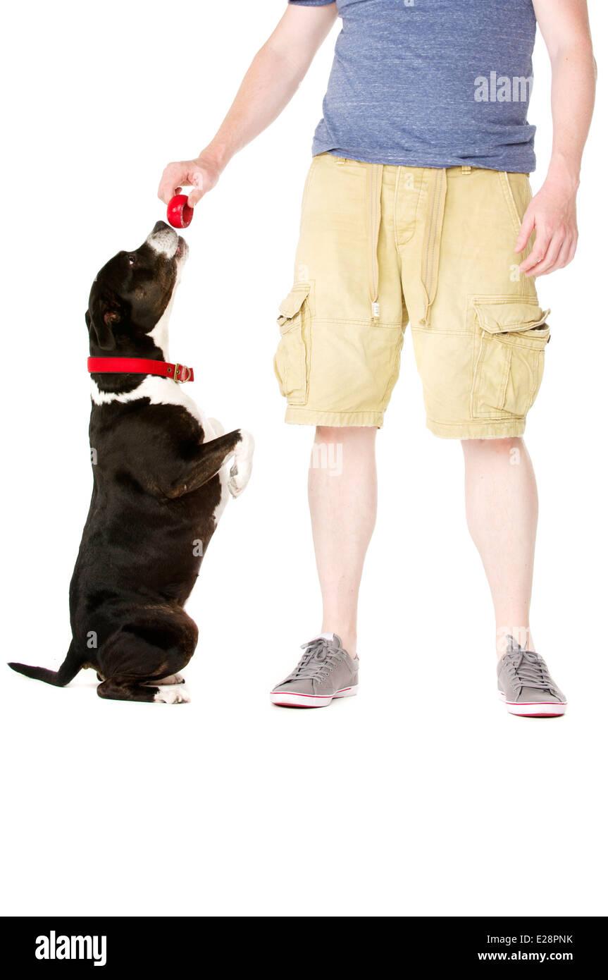 Staffordshire Bull Terrier begging at owner - Stock Image
