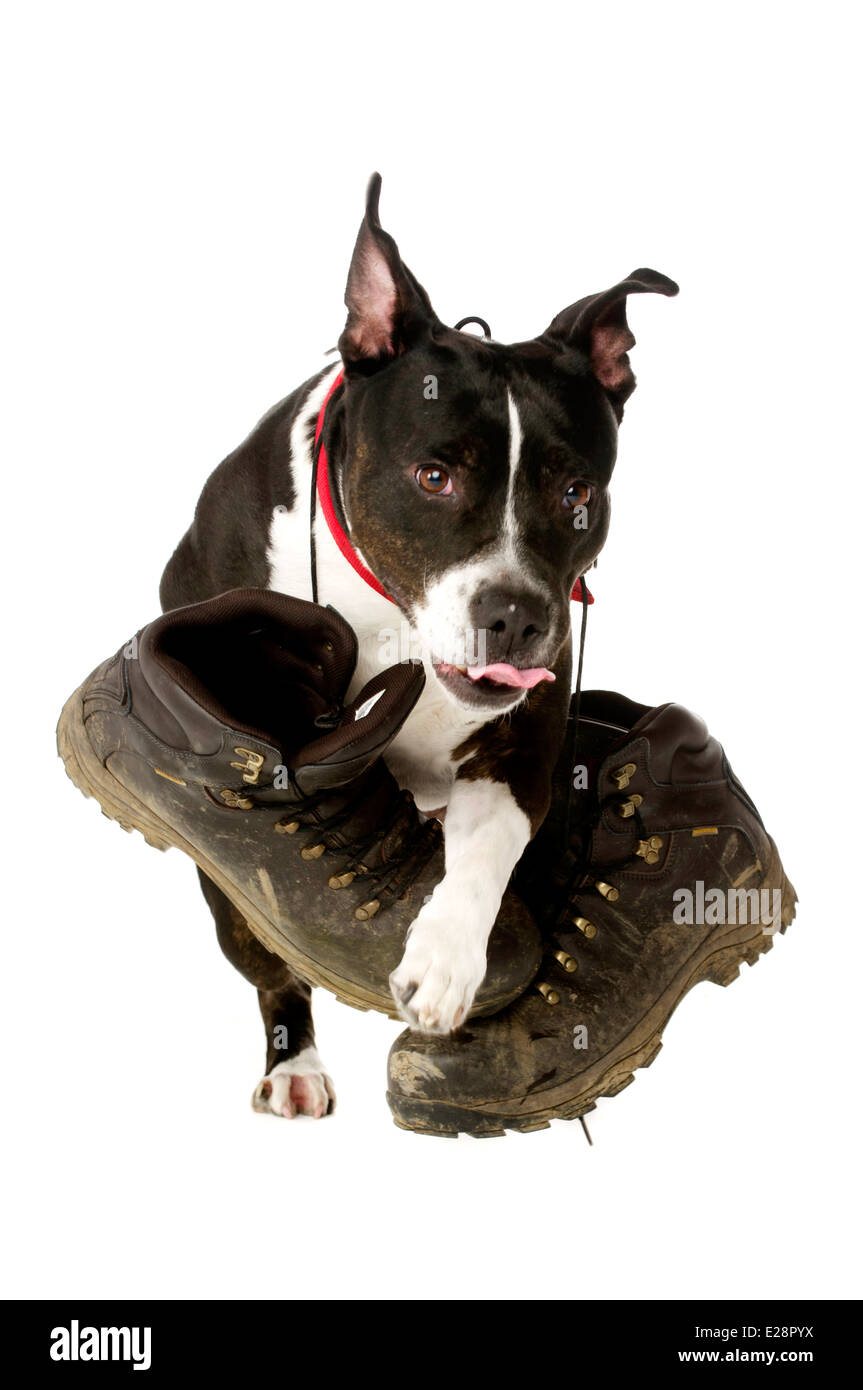 Staffordshire Bull Terrier carrying muddy walking boots running and jumping towards the camera isolated on a white - Stock Image