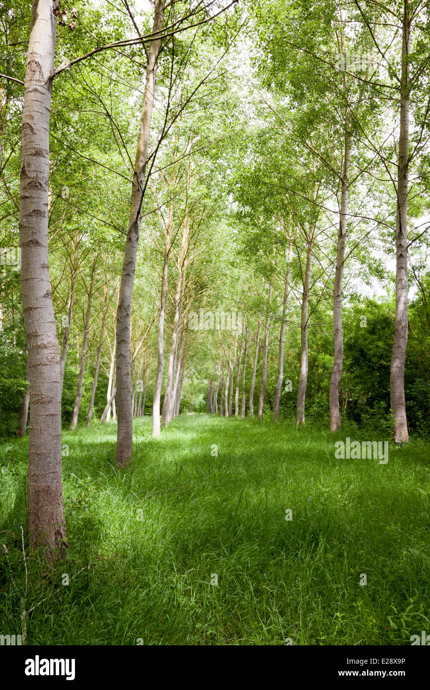 A poplar plantation in the Poitevin Marsh (France). Poplars grow on wet and temporarily flooded grounds. Plantation - Stock Image