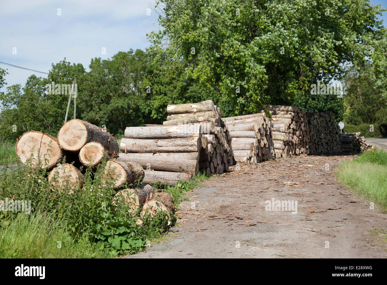 A temporary storage of poplar boles in the Poitevin Marsh (France). Stockage de troncs de peupliers dans le Marais - Stock Image