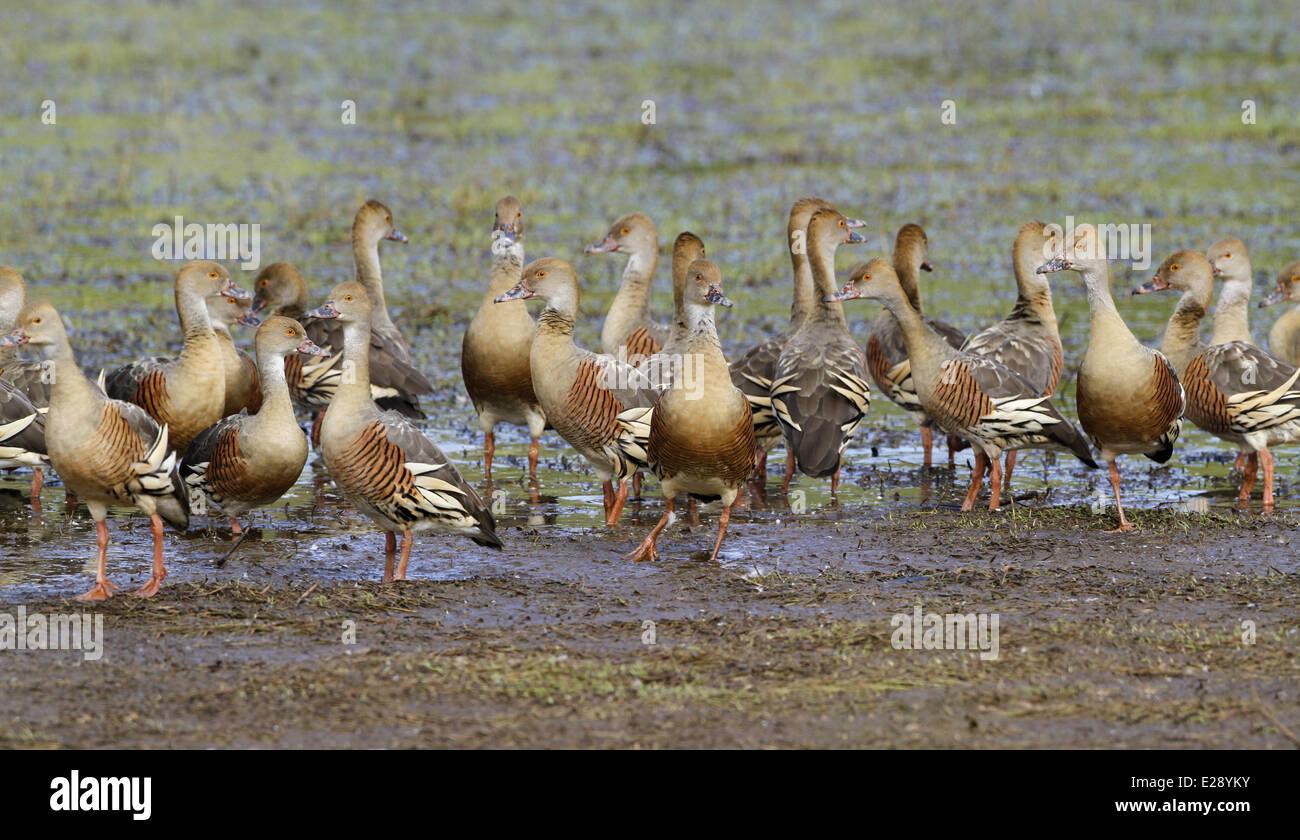 Plumed Whistling-duck (Dendrocygna eytoni) flock, roosting on mudflat, Hasties Swamp N.P., Atherton Tableland, Great Stock Photo