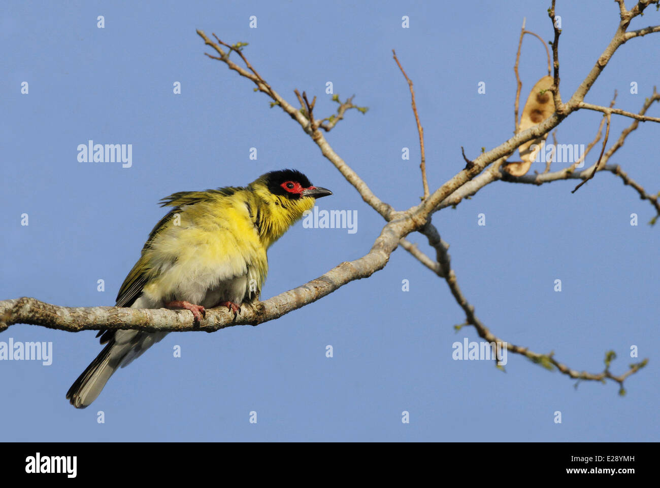 Australasian Figbird (Sphecotheres vieilloti flaviventris) 'Yellow Figbird' subspecies, adult male, perched on branch, Stock Photo