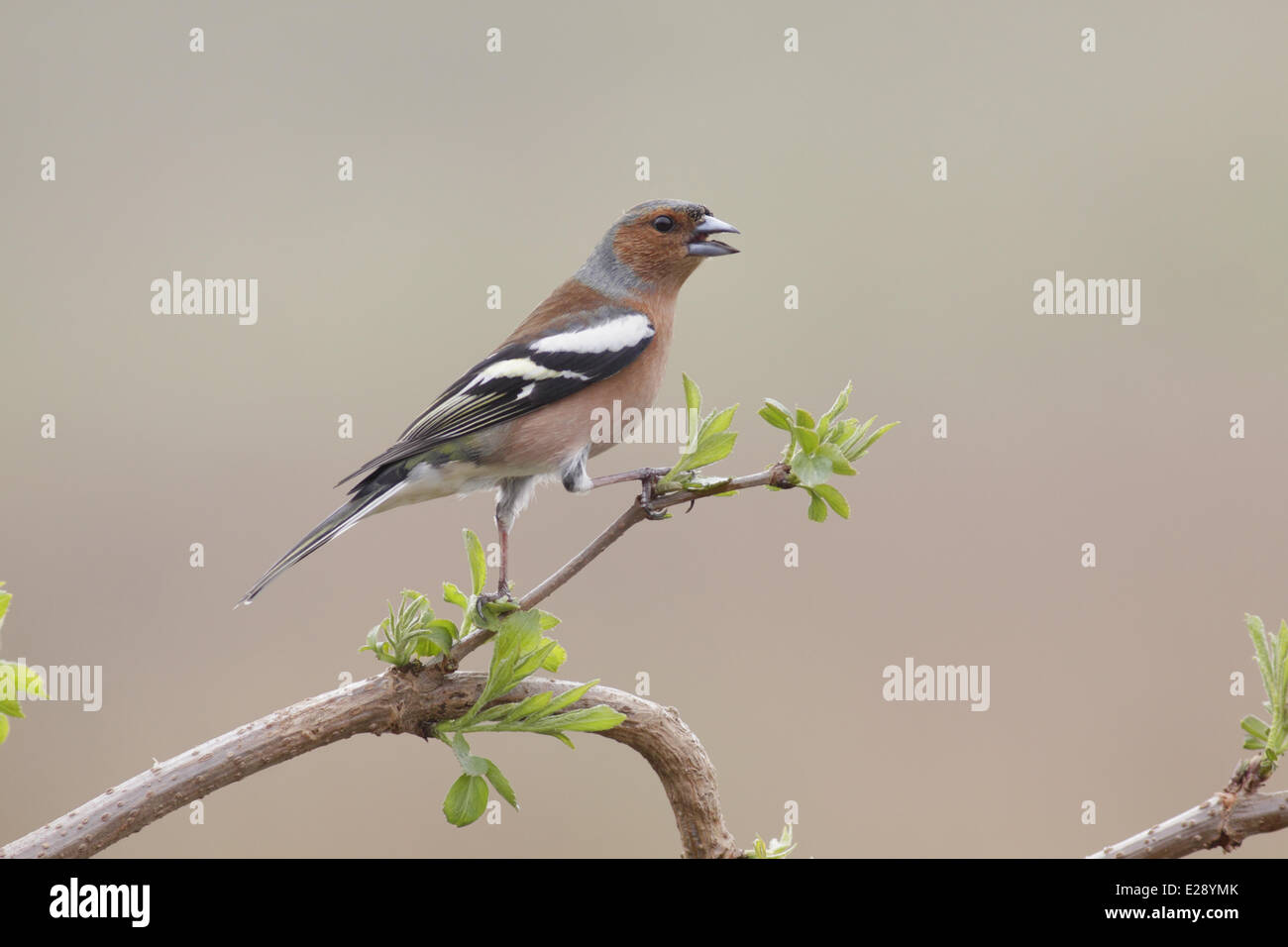 Common Chaffinch (Fringilla coelebs) adult male, with beak open, panting to lose heat, perched on twig, West Yorkshire, - Stock Image