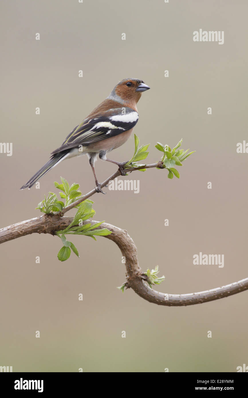 Common Chaffinch (Fringilla coelebs) adult male, perched on twig, West Yorkshire, England, March - Stock Image