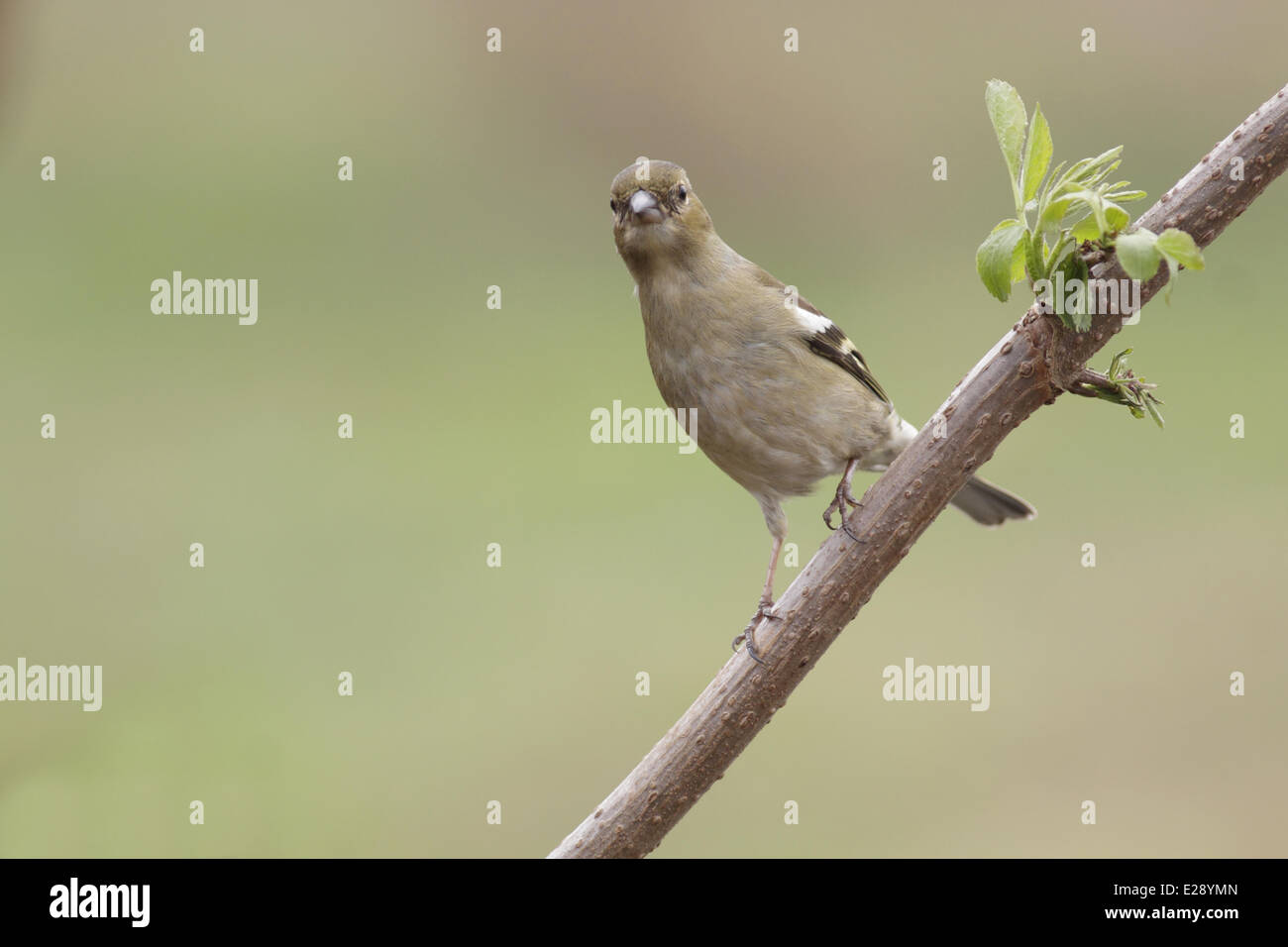 Common Chaffinch (Fringilla coelebs) adult female, perched on twig, West Yorkshire, England, March - Stock Image