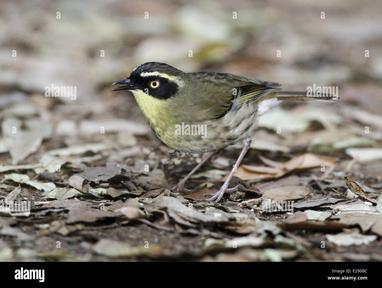Yellow-throated Scrubwren (Sericornis citreogularis) adult, foraging amongst leaf litter, Green Mountain, Lamington Stock Photo