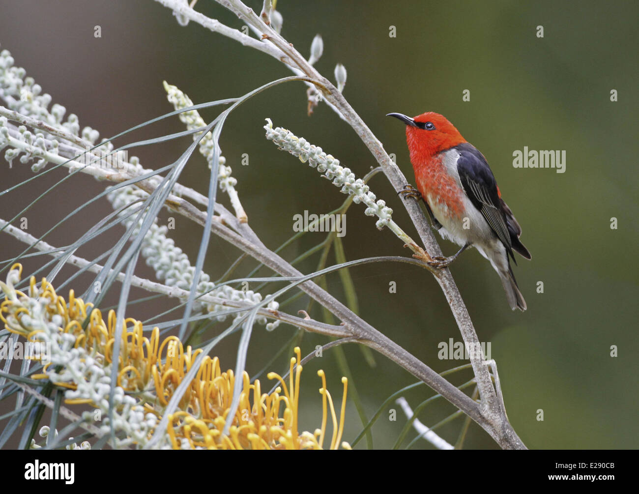 Scarlet Myzomela (Myzomela sanguinolenta) adult male, feeding on nectar from Honey Grevillea (Grevillea eriostachya) - Stock Image