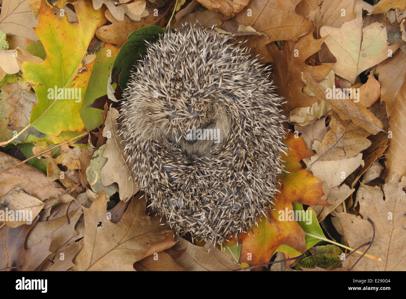 European Hedgehog (Erinaceus europaeus) immature, rescued animal sleeping amongst fallen leaves in garden, Staffordshire, - Stock Image