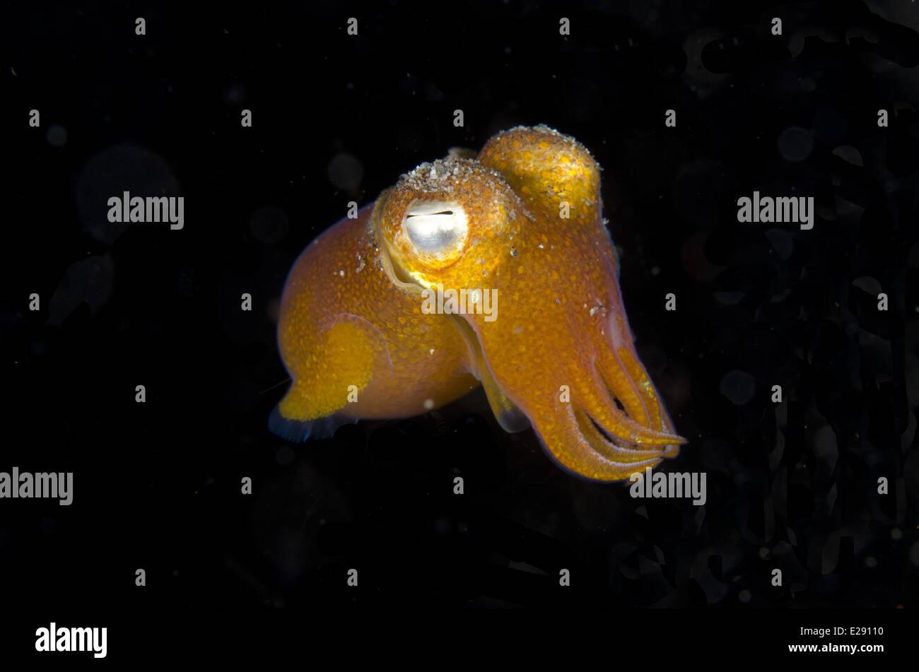Tropical Bottletail Squid (Sepiadarium kochi) adult, free-swimming ...
