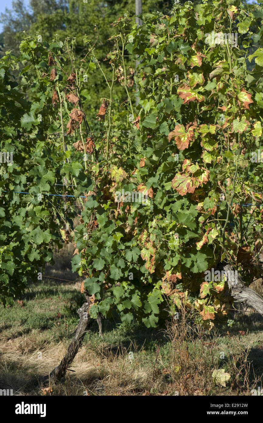 Symptoms of magnesium deficiency on grapevines in fruit in gironde, France, August - Stock Image