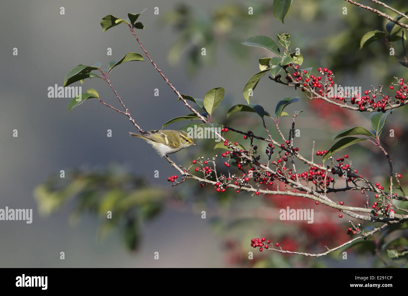 Pallas's Warbler (Phylloscopus proregulus) adult, perched on twig with berries, Hong Kong, China, January Stock Photo