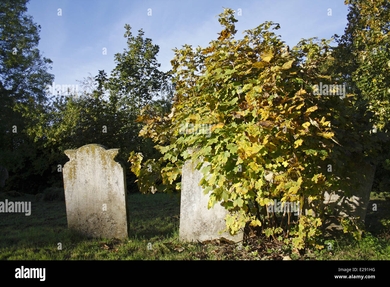 Sycamore (Acer pseudoplatanus) sapling, growing beside headstones in church graveyard, St. Andrew's Church, - Stock Image