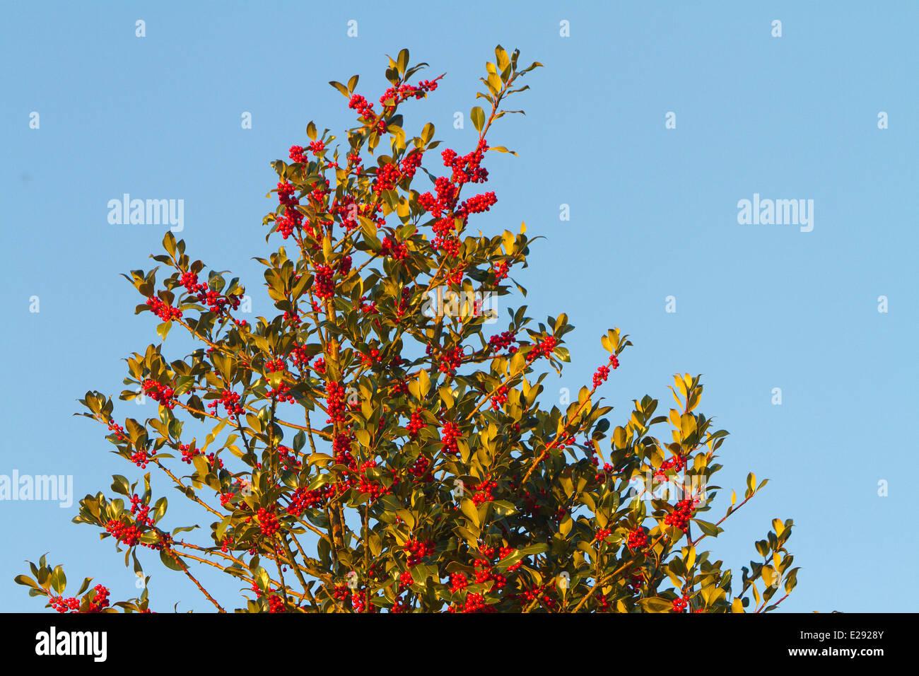 France, Haut Rhin, holly, or european holly (Ilex aquifolium), female tree with red fruits - Stock Image